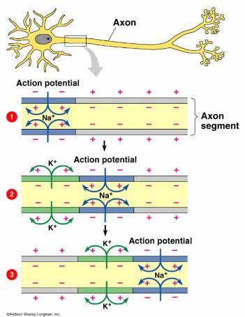 axon_action_potential_neuron_channel